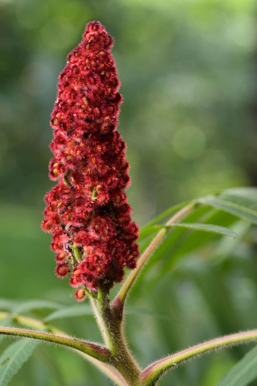 Sumac-plants-and-flowers.-
