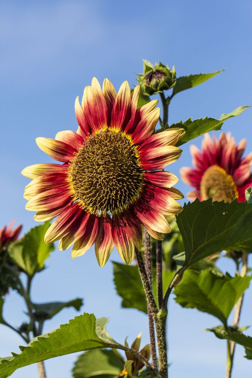 Sun-flowers-and-plants.-