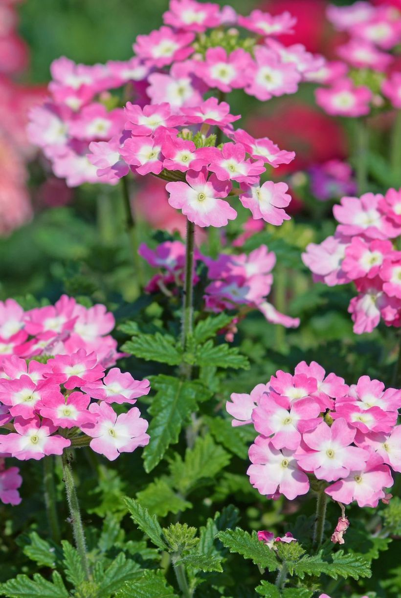 White-and-pink-verbena-flowers-and-plants.-