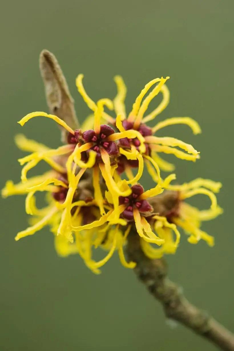 Witch-hazel-plants-and-flowers.-