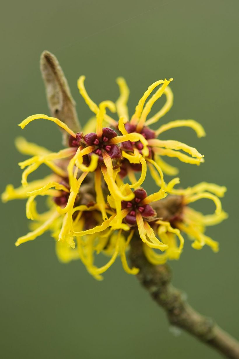 Witch-hazel-plants-and-flowers.-