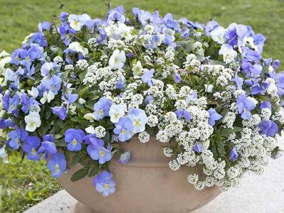 1how-to-grow-sweet-alyssum-in-pots-and-planters