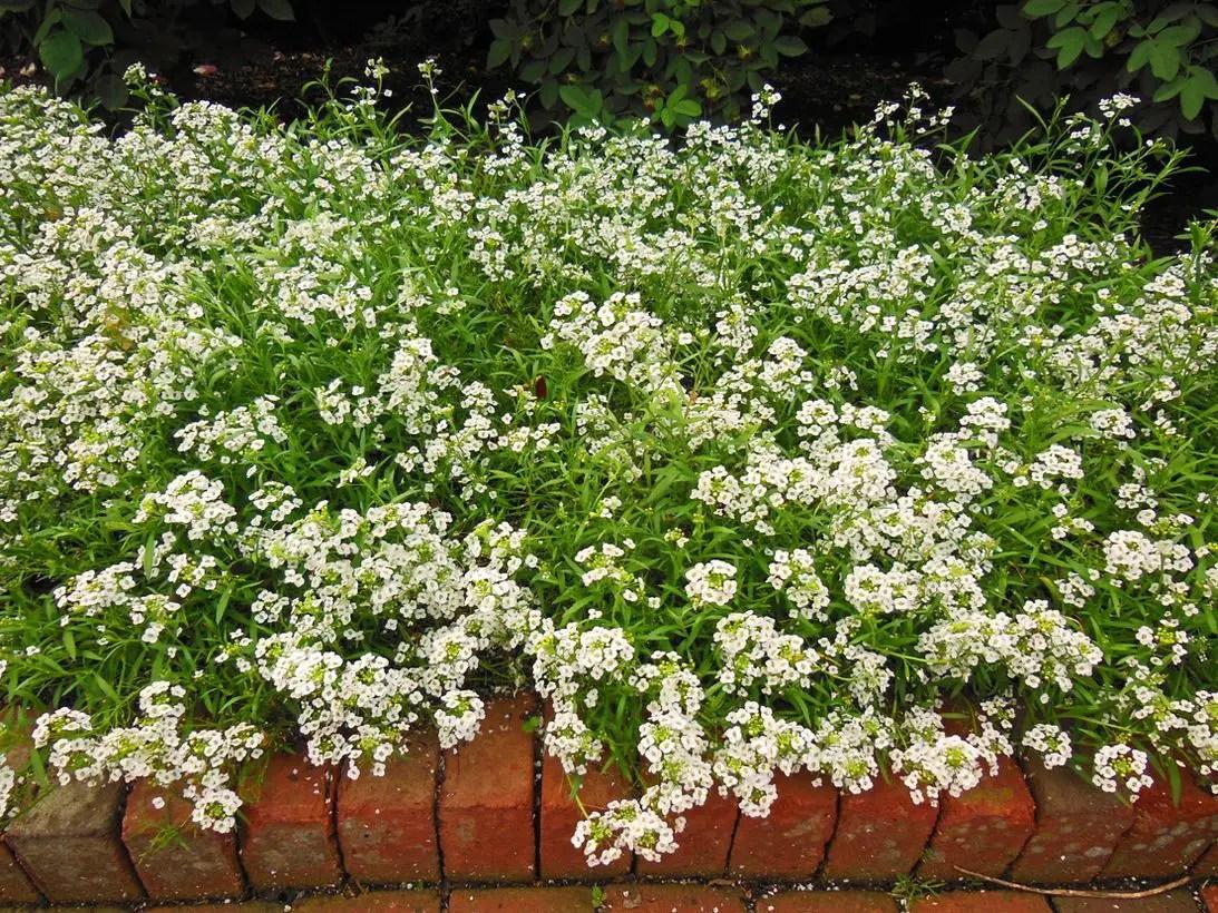 2-alyssum-flower-lobularia-maritima