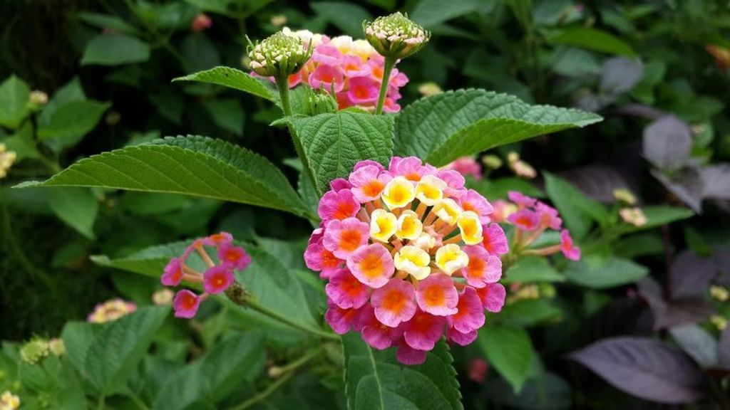 Lantana is a plant that has extraordinary flower shape and color, this flower has a lot of nectar that can attract butterflies to come in your garden