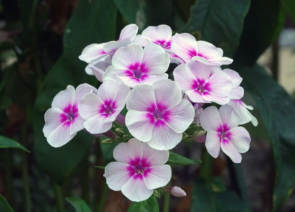 Phlox flowers suitable for your garden, have a white mixed with purple can be to attract butterflies so that your garden looks beautiful