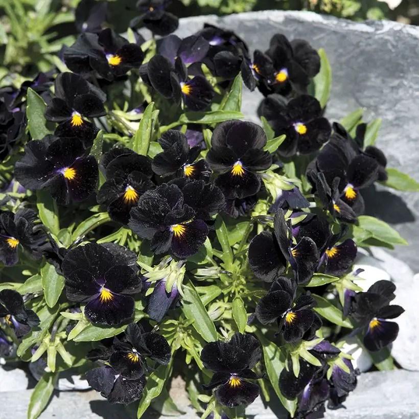 Planting-calla-lily-bulbs-planting-calla-lilies-plant-calla-lily-bulbs-deep-purple-calla-lily-bulbs-planting-calla-lily-bulbs-1