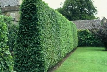Privet-creates-a-lush-wall-of-greenery