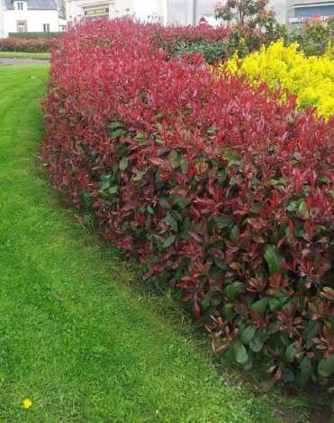 Best-plants-for-screening-photinia-garden-landscape-ideas-privacy-plants-garden-hedges