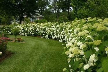 Best-screening-plants-garden-landscape-garden-decorating-ideas-hydrangea-privacy-hedge