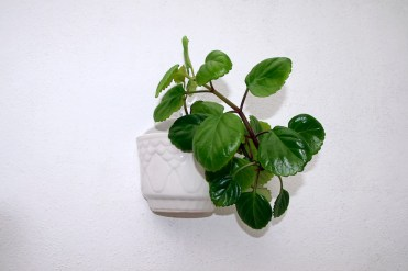 Swedish ivy plant (plectranthus verticillatus) in a pot, hanging on a white wall