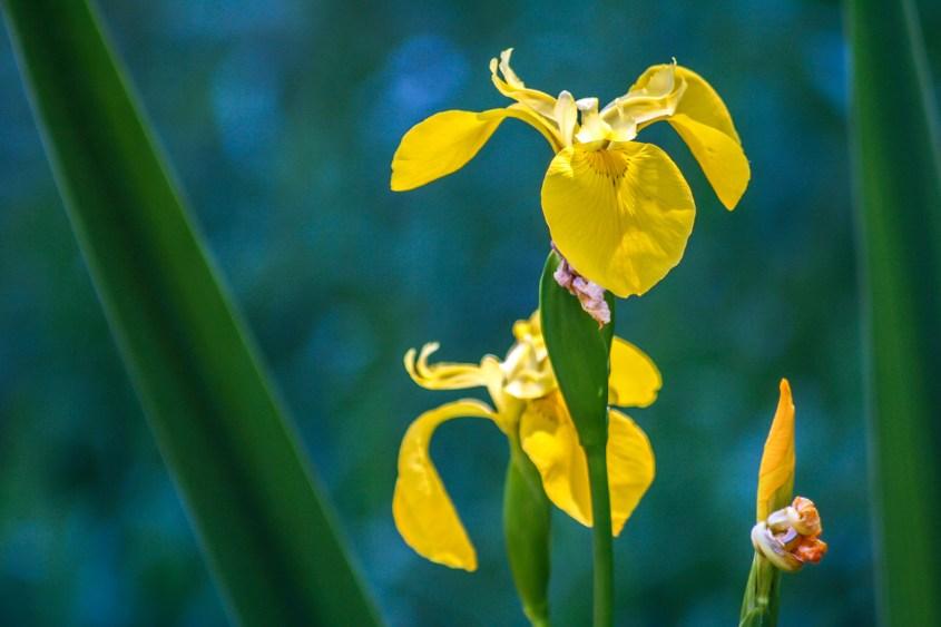 Lirios amarillos en primavera en las montañas cercanas a Bunyol, Valencia. © mateoht 1990-2013 - http://lafotodeldia.net