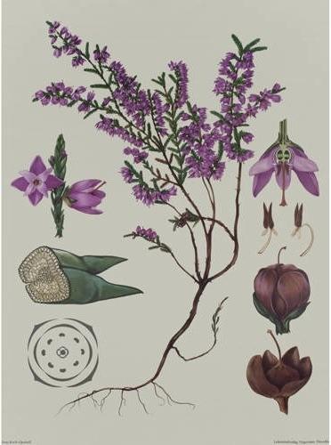 Ericacee - Coacaze de munte 3