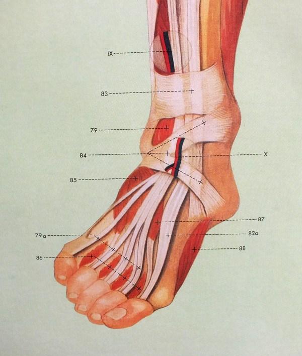 Sistemul muscular - fata 4