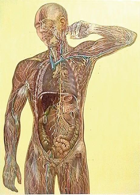 Sistemul limfatic 3