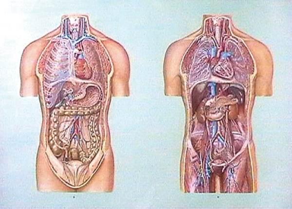 Organele cavitatii toracice si abdominale I 3