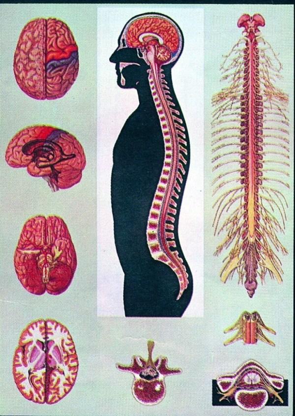 Creierul si maduva spinarii 3
