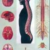 Creierul si maduva spinarii 1
