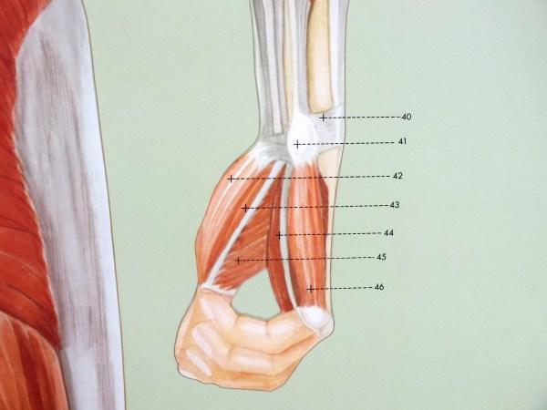 Sistemul muscular - spate 6