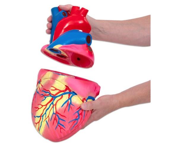 Inima umana - model Mare 5