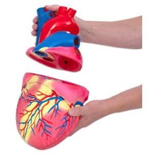 Inima umana - model Mare 14