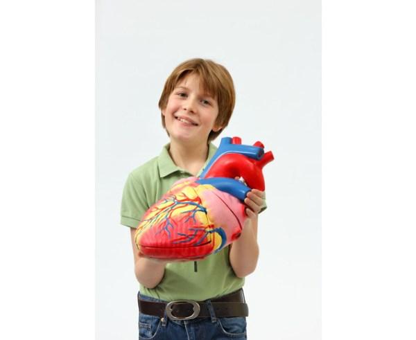 Inima umana - model Mare 6