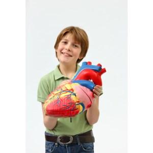 Inima umana - model Mare 15