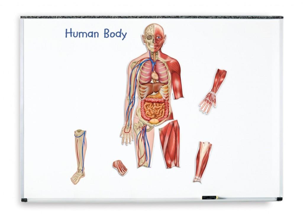 Corpul uman - set magnetic | MaterialeDidactice.ro