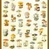 Ciuperci comestibile si otravitoare 1