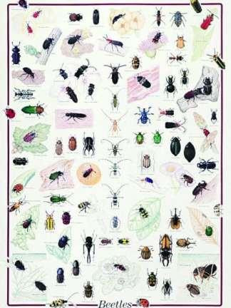 Gandaci, insecte