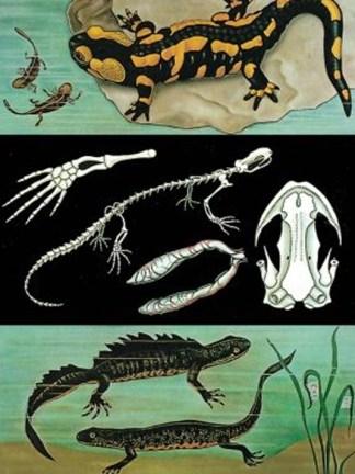 Iguana - Salamandra