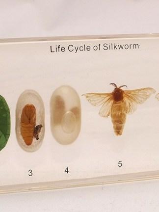 Ciclul de viata al viermelui de matase