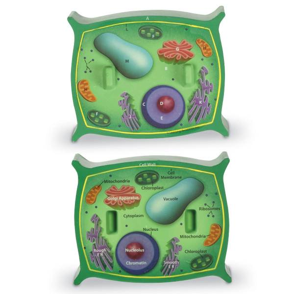 Sectiunea celulei plantei 5