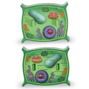 Sectiunea celulei plantei 9
