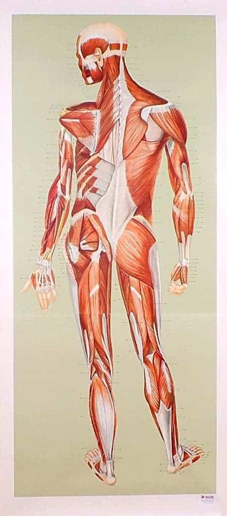 Sistemul muscular - spate
