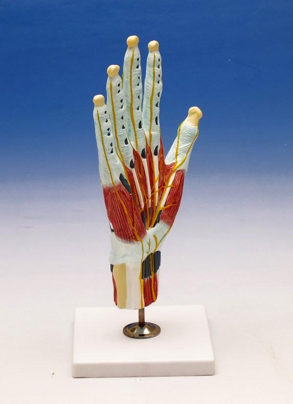 Modelul structurii interne al mainii 6