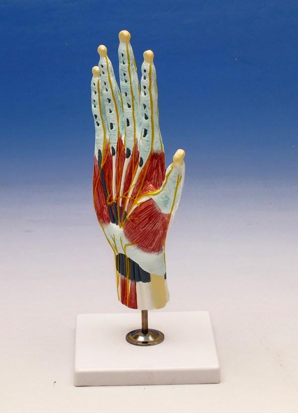 Modelul structurii interne al mainii 5