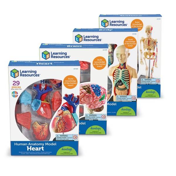 Set 4 modele anatomie 6