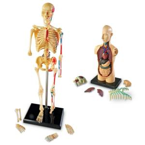 Set 4 modele anatomie 8