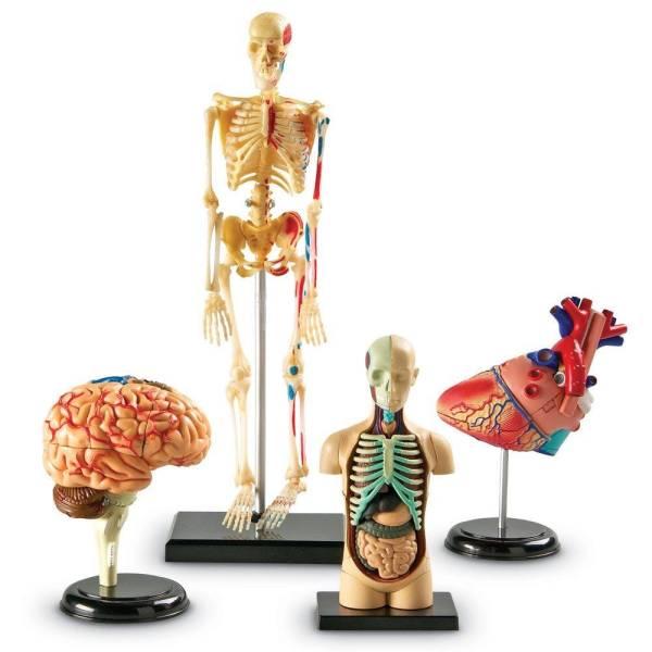 Set 4 modele anatomie 3