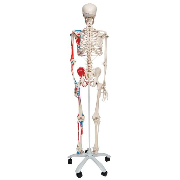 Schelet uman cu vizualizare sistem muscular pe suport cu role 3