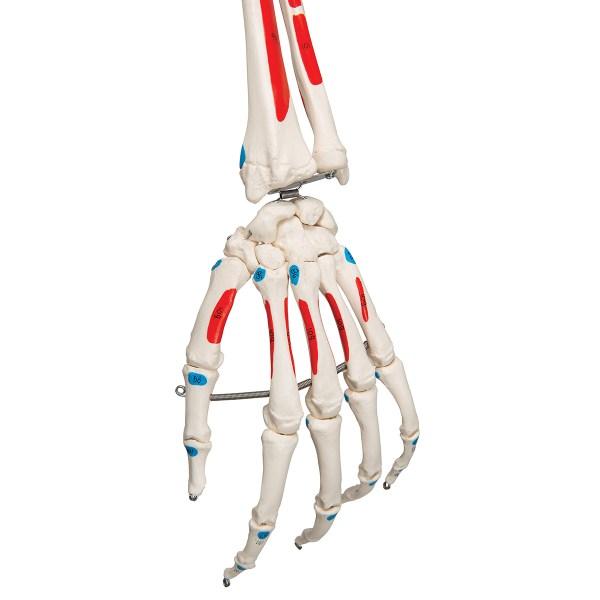 Schelet uman cu vizualizare sistem muscular pe suport cu role 10