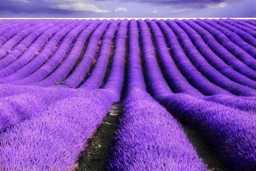 """alt=""""Pantone 2018 - Ultra violet - Colore dell'anno - Campo di lavanda"""""""