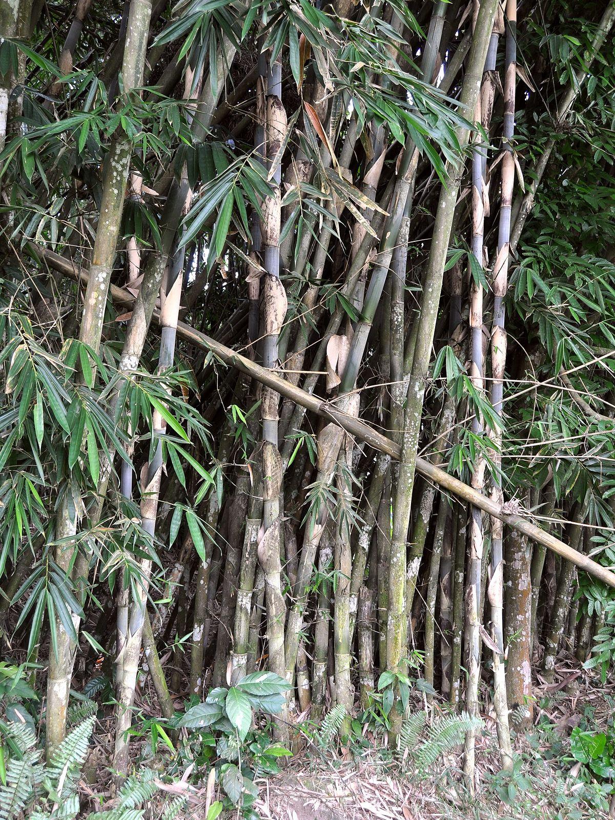 27/01/2019· kimia organik dasar (isbn : Bambu Tali ( Gigantochloa Apus) – Materi Kimia