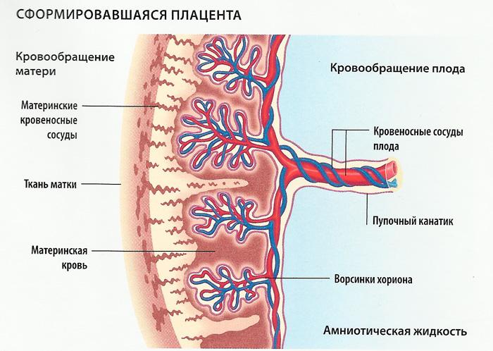 Плацента: когда она формируется, на каком сроке беременности завершается процесс формирования? Когда формируется плацента при беременности