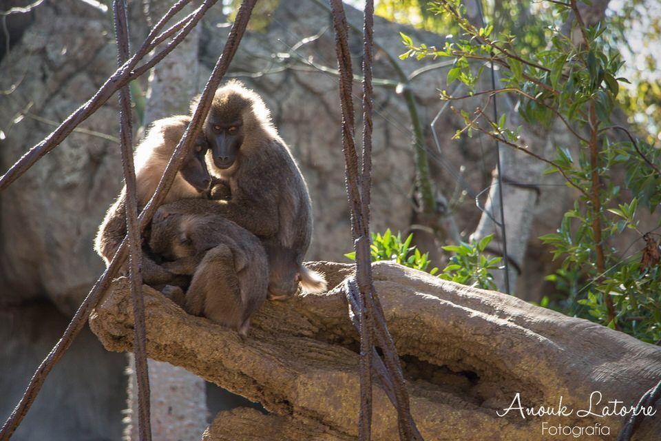 babuinos-con-marca