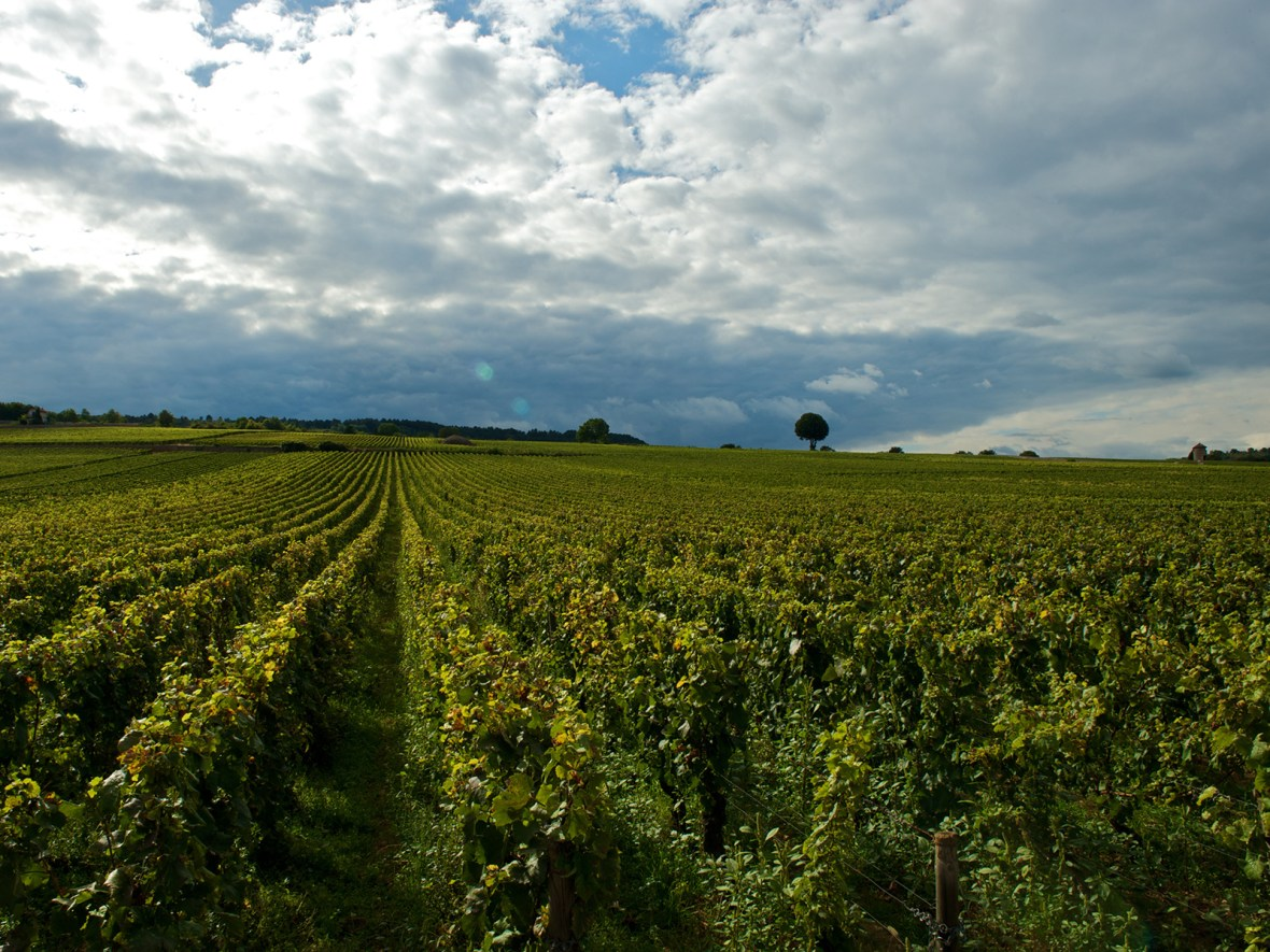 vineyards covering the hills near the village of Chambolle-Musigny in Burgundy, France