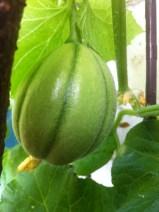 Balkon-Melone 2014-3