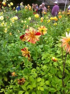 Dahlienpracht in der Kölner Flora1