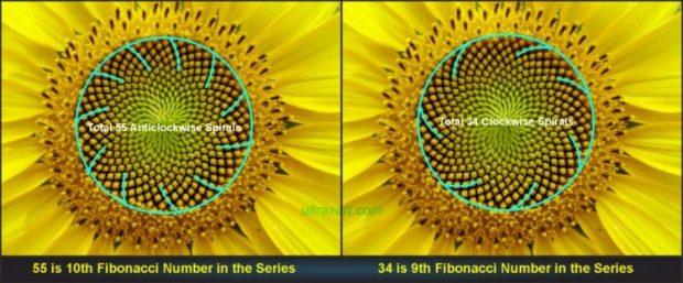 向日葵裡的神奇數列