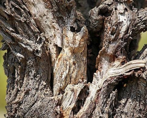 Figure 2: Eurasian Scops Owl (source).